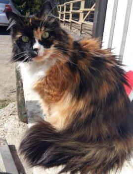 Jaanuaris 2019 kadus Harku vallast Hüüru Tallidest pikakarvaline emane kass. Leidjale vaevatasu!