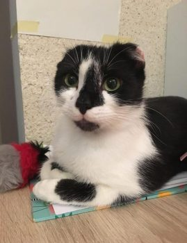VAJALIK – nooruke alla aastane emane kass. Kontakt: 59017142