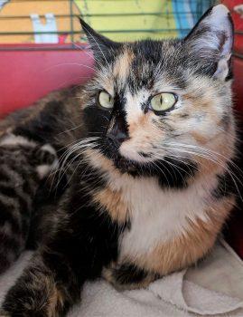 NOORA – kirju emane kass, leitud Saaremaalt. Kontakt: 5837 0708