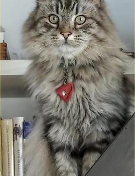 Tallinnas Mustasõstra tänaval kadus 25.07 hall isane kass Markiiz. Kontakt: 5073778