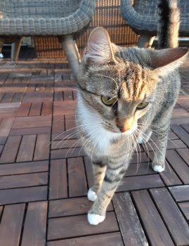 25. mai varahommikul kadus Kopli tänaval 1-aastane triibuline kassipreili Mustikas.  Kontakt: 529 8 949